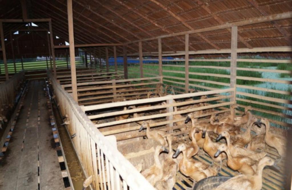 畜牧局鼓励在农产区发展养鸭业,因地制宜带动当地食品经济发展