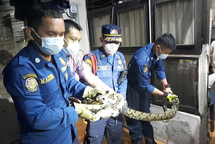 造成轰动!一条 2.5 米长巨蟒爬进南雅加达 Cipete 居民房屋