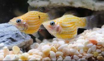 抢占百亿美元市场!印尼要做全球最大观赏鱼出口国