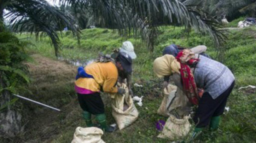 棕榈油业为我国创造1600万个工作岗位