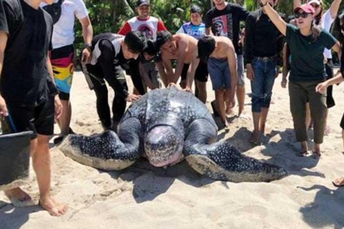 巨型棱皮龟在米纳哈沙获救,在拉贾安帕被照料