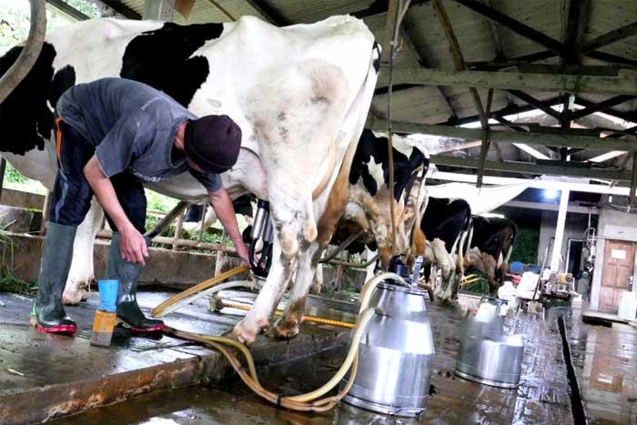 尽管炭疽暴发,图伦加贡牛奶价格稳定